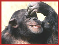 chimp guitarist laughing image